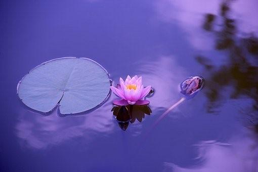 Lotus, Luonnollinen, Vesi, Meditaatio